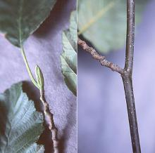 bud, twig, branch, late summer