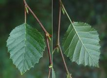 leaf and buds