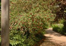 plant habit, fruiting shrub, early summer