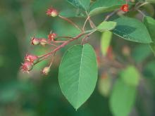 leaves and developing fruit, late spring