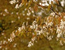 flowering branches