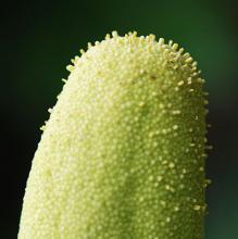 tip of male flower cluster