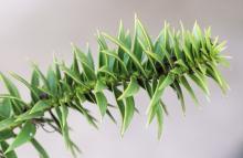 branch, leaves