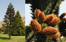 tree with male cones