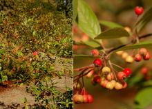 plant habit and ripening fruit, fall