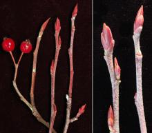 winter twig, buds and fruit