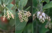 developing flower clusters, fall to sping