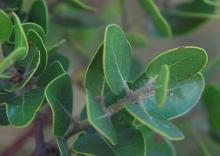 leaves, stem