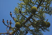 male and female cones