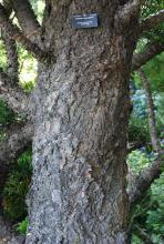 older trunk, bark