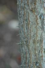 "trunk, bark and ""thorns"""
