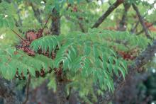 leaf and fruit clusters