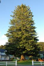 large tree, planted in 1890, Paihia, New Zealand