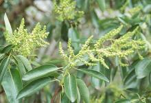 leaves and developing flower clusters