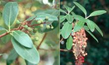 leaves, immature and mature fruit