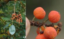 mature fruit