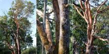 older tree in a western Oregon forest