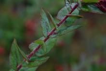 mature leaves