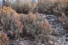 plant habit, in a landscape, winter