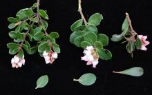 flowering branchlets, three selections