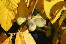 ripe fruit cluster