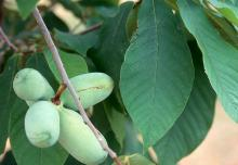 developing fruit and leaves