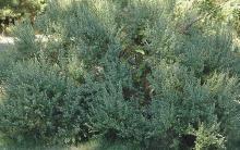 plant habit, flowering male