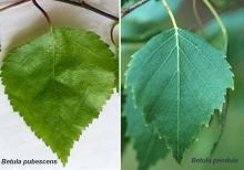 leaf, comparison