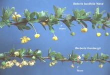 flowering branches, comparison