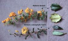 flowering shoot and leaves, comparison