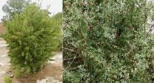 plant habit and branches