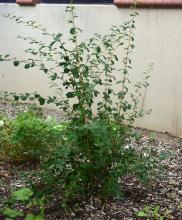 plant habit, late summer