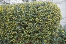 plant habit, formal hedge
