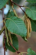 leaves and catkins