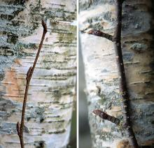 bark, twig, and buds, winter