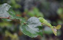 branch tip, leaves