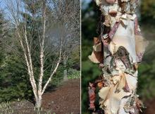 plant habit and bark, winter