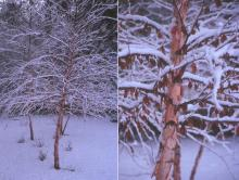 plant habit and bark, in snow