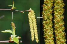 female flowers and male catkins