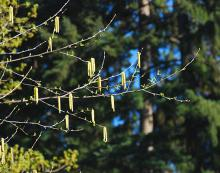 male catkins, spring
