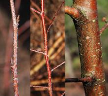 winter: twig, buds, and branch