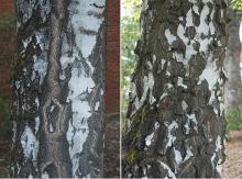 trunk, bark, older tree