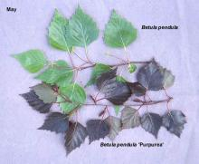 leaves, comparison with species, May