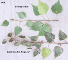 leaves (Sept.), comparison with species
