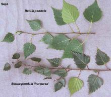leaves, comparison with species, Sept.