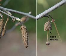 female (seed) catkins, spring
