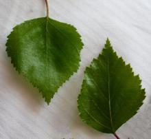 leaves, note margin variation