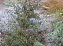 plant habit, winter