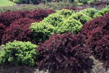 dwarf cultivars, 'Kobald' (green) and 'Crimson Pigmy'