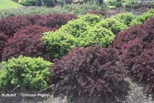 plant habit, two dwarf forms